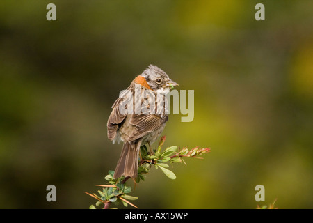 Rufous-collared Sparrow (Zonotrichia capensis) at first morning light in Torres del Paine National Park, Patagonia, - Stock Photo