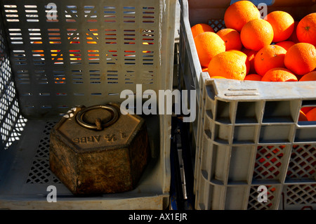 Crates of oranges placed on scales at an orange plantation near Alcira, Valencia, Spain, Europe - Stock Photo