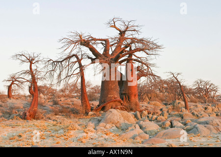 Baobabs or Adansonia digitata on Kubu Island (Lekubu) in the south west of Sowa Pan, Makgadikgadi pans, Botswana, - Stock Photo
