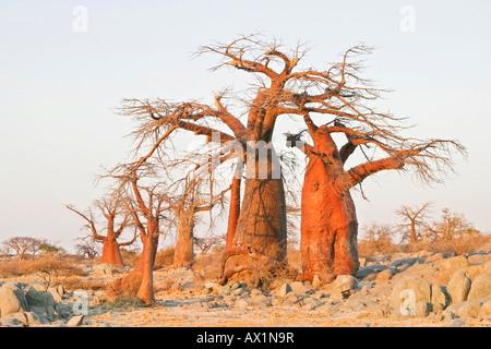 Baobabs or Adansonia digitata on Kubu Island (Lekubu) in the south west of Sowa Pan, Makgadikgadi pans, Botswana, - Stock Photo