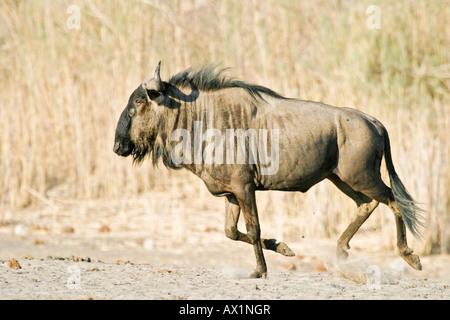 Blue Wildebeest (Connochaetes taurinus) in the dry riverbed, Boteti River, Khumaga, Makgadikgadi Pans National Park, - Stock Photo