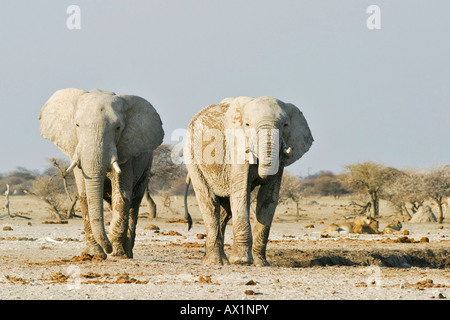 African Elephants (Loxodonta africana) and lions (Panthera leo) in the background, Nxai Pan, Makgadikgadi Pans National - Stock Photo