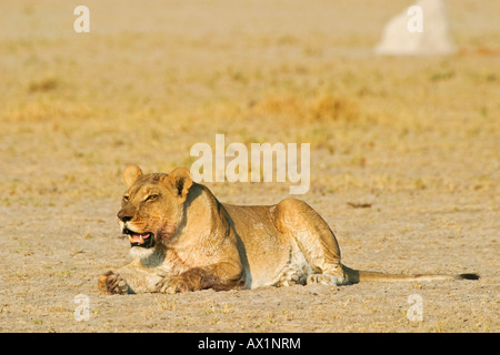 Lioness (Panthera leo) looks for prey, Nxai Pan, Makgadikgadi Pans National Park, Botswana, Africa - Stock Photo