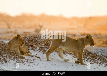 Lion cups (Panthera leo) on a small hill are watching for animals in the Nxai Pan, Makgadikgadi Pans National Park, - Stock Photo