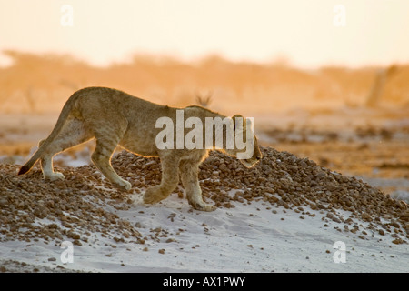 Lion cup (Panthera leo) Nxai Pan, Makgadikgadi Pans National Park, Botswana, Africa - Stock Photo