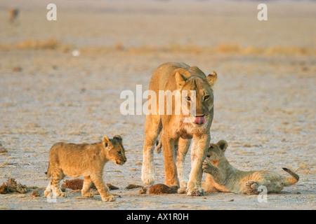 Lioness (Panthera leo) is playing with her cups, Nxai Pan, Makgadikgadi Pans National Park, Botswana, Africa - Stock Photo