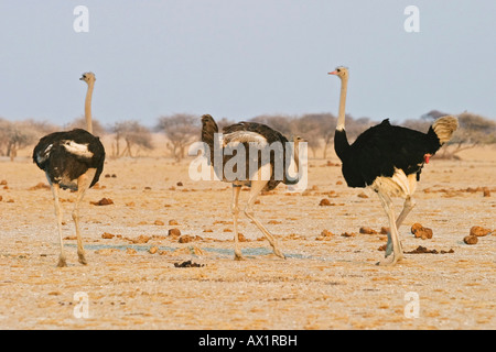 Ostrichs (Struthio camelus) courtships around a female osterich, Nxai Pan, Makgadikgadi Pans National Park, Botswana, - Stock Photo