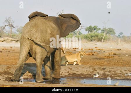 African elephant (Loxodonta africana) attacks a lion (Panthera leo) at a waterhole, Savuti, Chobe Nationalpark, - Stock Photo