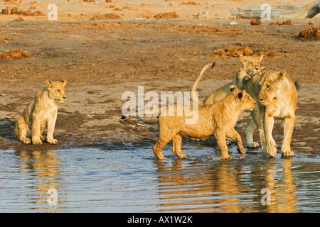 Playing lioness with her cups (Panthera leo) in the waterhole, Savuti, Chobe Nationalpark, Botswana, Africa - Stock Photo