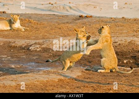 Playing lion cups (Panthera leo), Savuti, Chobe Nationalpark, Botswana, Africa - Stock Photo