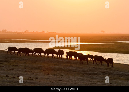 Herd of african buffalos or Cape buffalos (Syncerus caffer) at sunset, Chobe River, Chobe National Park, Botswana, - Stock Photo