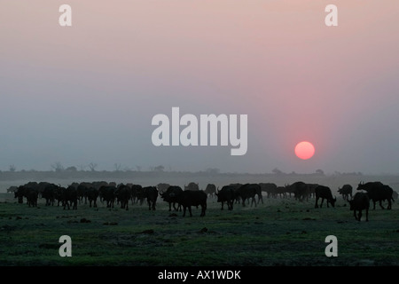 Herd of african buffalos or Cape buffalos (Syncerus caffer) at sunset, Chobe National Park, Botswana, Africa - Stock Photo