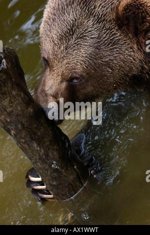 Brown Bear (Ursos arctos), outdoor enclosure, Nationalpark Bayerischer Wald (Bavarian Forest National Park), Bavaria, - Stock Photo