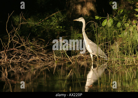Grey Heron (Ardea cinerea) in forest pond - Stock Photo