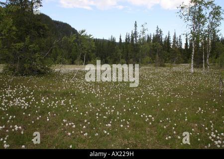 Tundra, Common Cottongrass (Eriophorum angustifolium), Norway, Europe