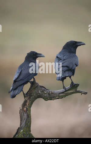 Common or Northern Ravens (Corvus corax) - Stock Photo