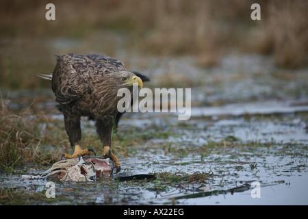 White-tailed Eagle or Sea Eagle (Haliaeetus albicilla), feeding on a fish - Stock Photo