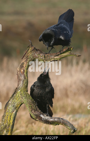 Common or Northern Ravens (Corvus corax), mating behavior - Stock Photo