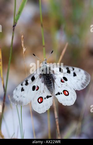 Apollo Butterfly (Parnassius apollo), Eichstaett, Bavaria, Germany, Europe - Stock Photo