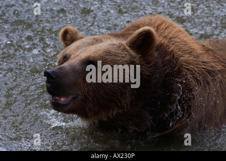 Brown Bear (Ursus arctos), outdoor enclosure, Nationalpark Bayrischer Wald (Bavarian Forest National Park), Bavaria, - Stock Photo