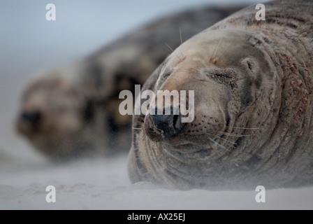 Atlantic Grey Seals (Halichoerus grypus) during a sandstorm, Helgoland Island, North Sea, Lower Saxony, Germany, - Stock Photo