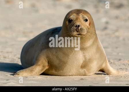 Young Atlantic Grey Seal (Halichoerus grypus), Helgoland Island, North Sea, Lower Saxony, Germany, Europe - Stock Photo