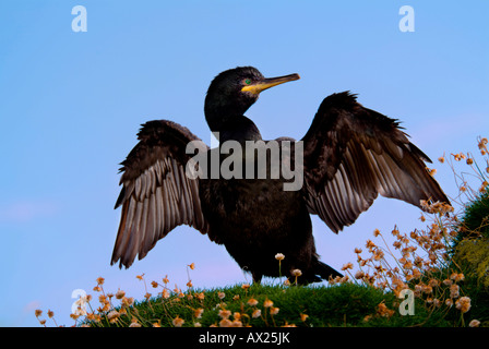 European Shag or Common Shag (Phalacrocorax aristotelis) spreading its wings to dry, Lunga Island, Treshnish Isles, - Stock Photo