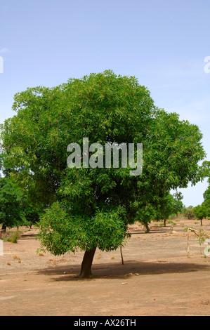 Shea butter tree, Karite tree, Vitellaria paradoxa, syn. Butyrospermum parkii, B. paradoxa, Burkina Faso - Stock Photo