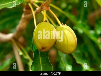 Fruits of Shea butter tree, Karite tree, Vitellaria paradoxa, syn. Butyrospermum parkii, B. paradoxa, Burkina Faso - Stock Photo