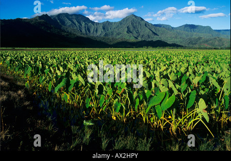 Taro Fields in Hanalei Valley Kauai Hawaii USA August 1996 - Stock Photo