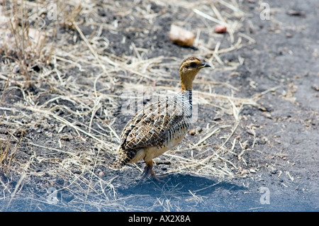 Coqui Francolin, francolinus coqui, feeds in the Lobo valley, Serengeti National Park, Tanzania, East Africa. - Stock Photo