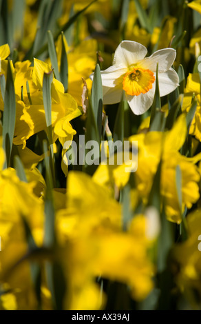 Single white narcissus flower blooming amongst yellow ones - Stock Photo