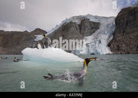 Antarctica South Georgia Island UK King Penguins Aptenodytes patagonicus swimming by iceberg calved from tidewater - Stock Photo