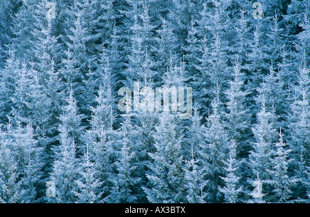 Norway spruce Picea abies with frost Oberaegeri Switzerland - Stock Photo