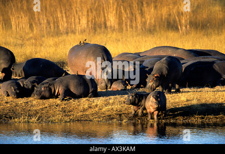 Hippopothami Hippopotamus amphibius sun bathing Horseshoe Bend Kwando river Caprivi Region Namibia - Stock Photo