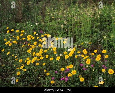 Wildflowers Raymondville Rio Grande Valley Texas USA - Stock Photo