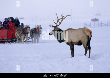 A bull elk watches visitors in a horse drawn sled or sleigh to the National Elk Refuge near Jackson Hole Wyoming - Stock Photo