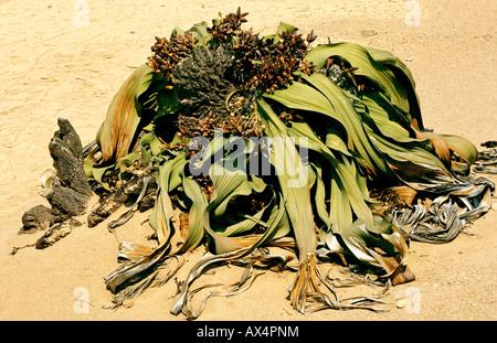 Welwitschia mirabilis, Namibia, Africa - Stock Photo