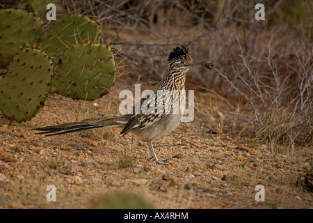 Greater Roadrunner in Sonoran Desert of Arizona - Stock Photo
