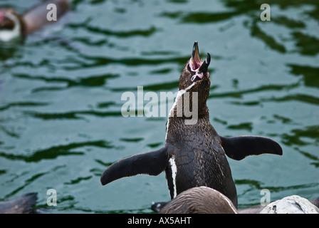 Jackass Penguin yelling, Speniscus demersus - Stock Photo