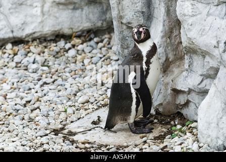 Jackass Penguins in front of nesting cave, Speniscus demersus - Stock Photo