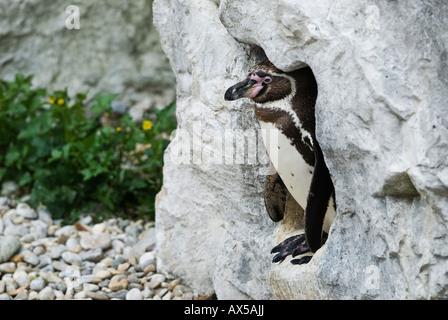 Jackass Penguins in nesting cave, Speniscus demersus - Stock Photo