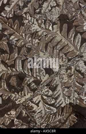 Fossil Fern (Neuropteris sp) Upper Carboniferous -Piesberg Osnabruck Germany - Stock Photo