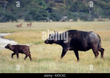 African Buffalo  - Stock Photo