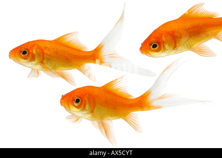 Goldfishes (Carassius auratus) - Stock Photo