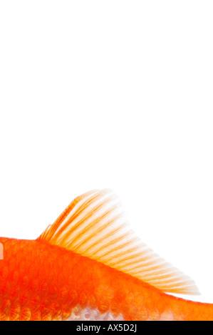 Goldfish fin (Carassius auratus) - Stock Photo