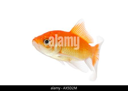 Goldfish (Carassius auratus) - Stock Photo