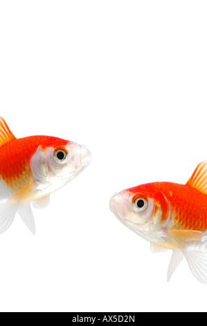 Goldfishes (Carassius auratus) - Stock Photo