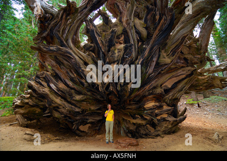 Woman standing in front of the huge roots of a Giant Sequoia (Sequoiadendron giganteum), Sequoia National Park, - Stock Photo