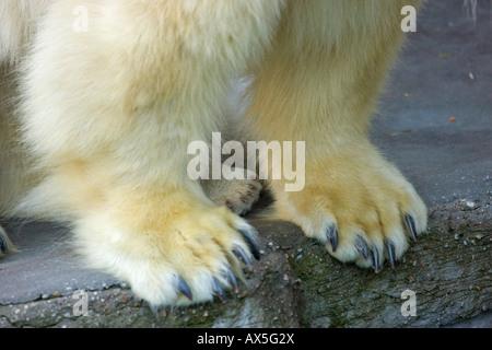 Polar Bear (Ursus maritimus) paws, cub and adult, twins born December 2007 at Schoenbrunn Zoo, Vienna, Austria, - Stock Photo